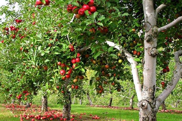 اصول فاصله کاشت درخت میوه چیست؟